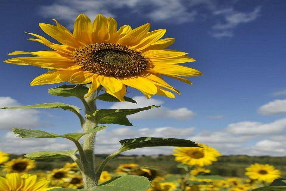 Pest Control in Sunflower