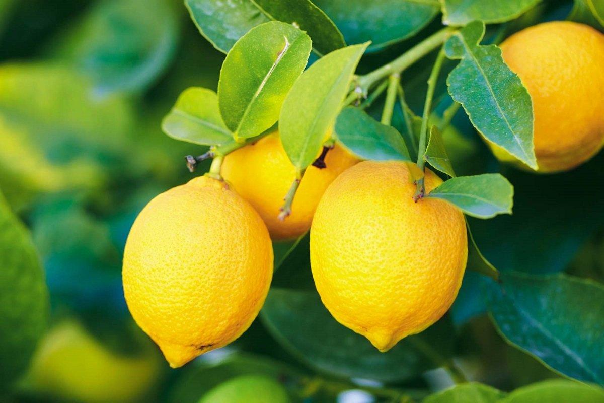 Simple tips to grow lemons at home!