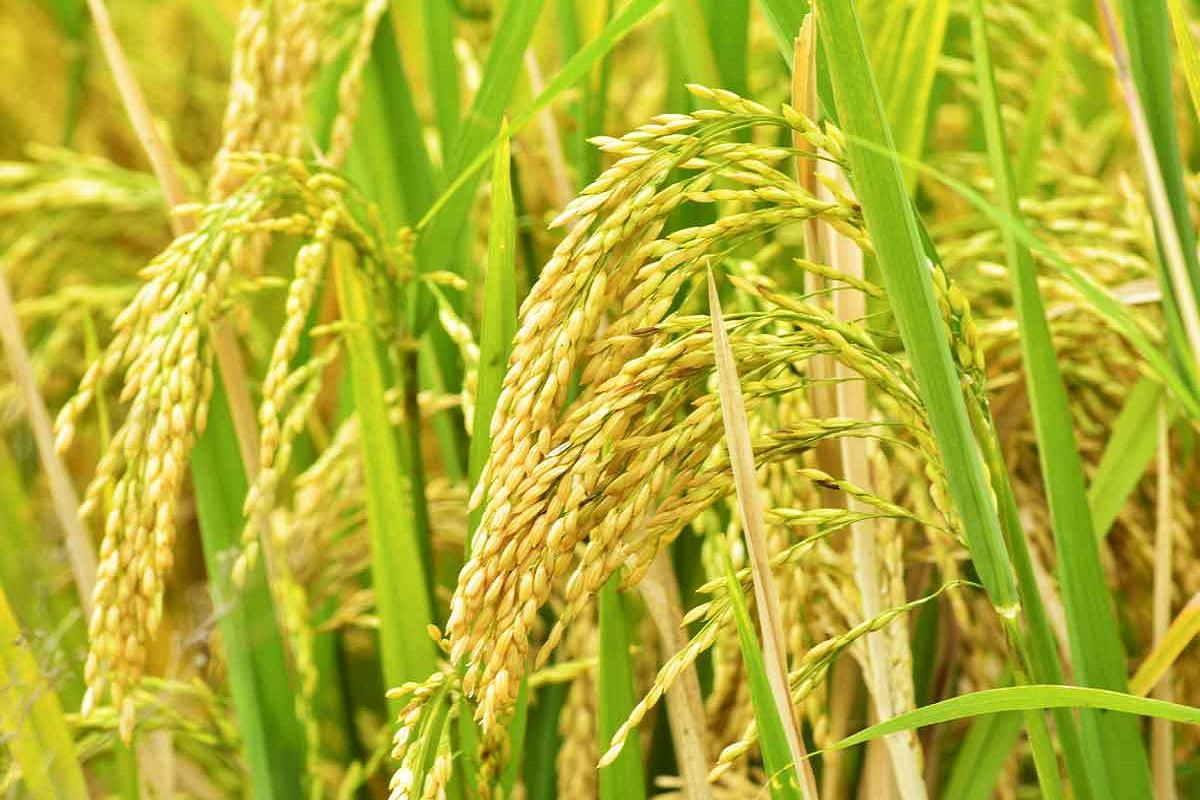 Risk of rice crop pest infestation due to continuous rains - Farmers worried!