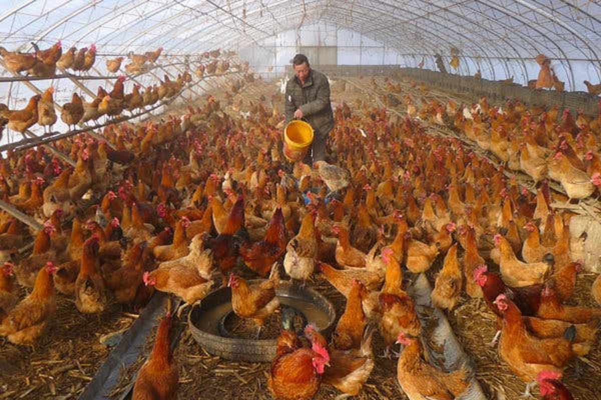 How to protect chickens from bird flu? Attention Farm Owners!