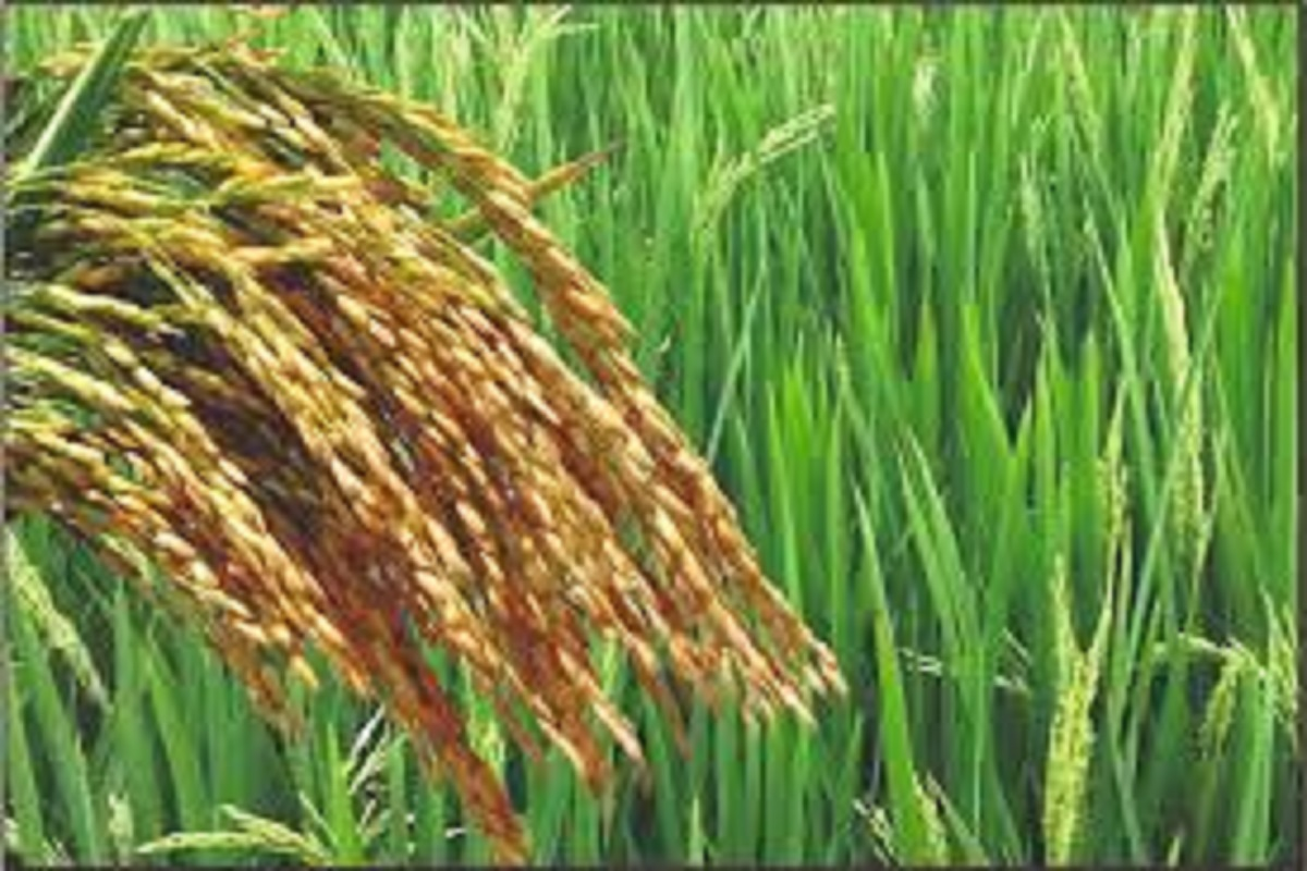 Paddy Fruit Disease - Some Ways to Control It!