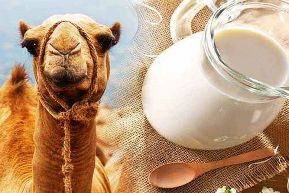 Camel for sale in Ohio - Best Profitable Business!