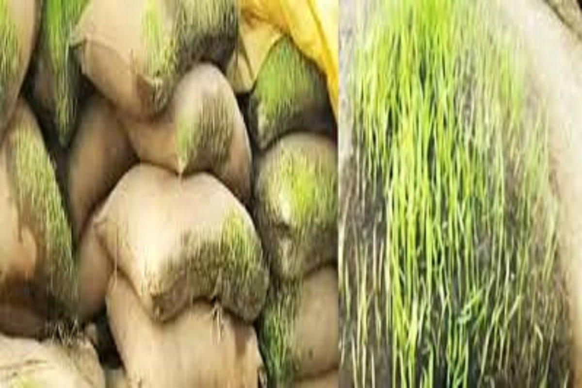 Seedlings germinated in bundles - refuse to buy!