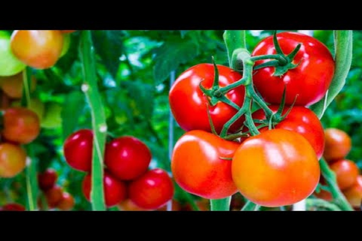 Leaf curl toxin disease in tomato plant- How to protect?