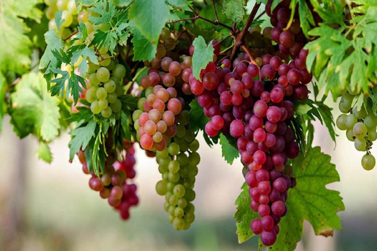 Grapes Uses