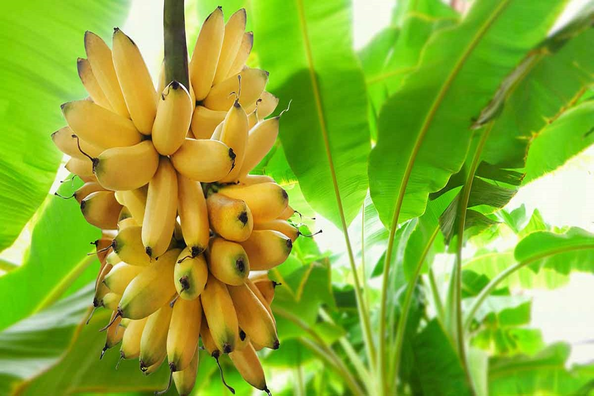 Which is the highest yielding formula in banana cultivation?