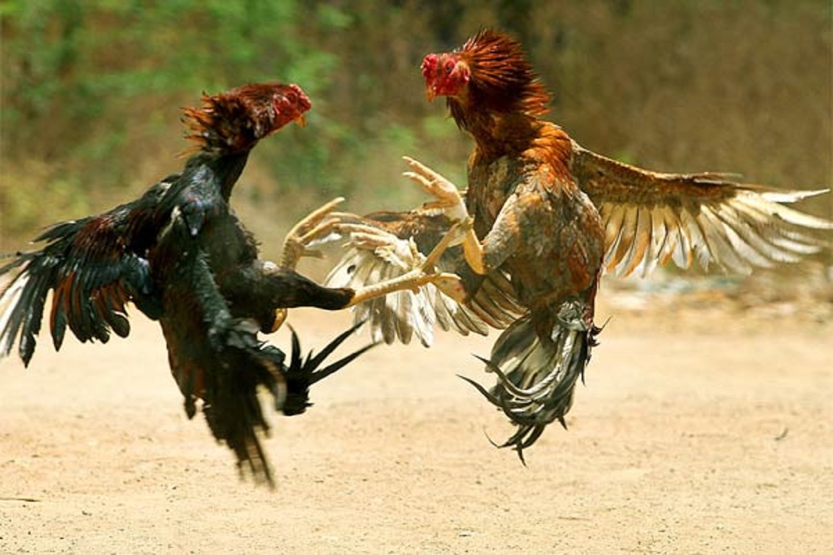 Owner's life-threatening fighting cock!