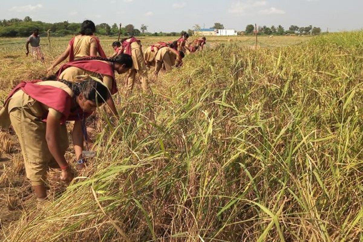 Organic Paddy Harvest