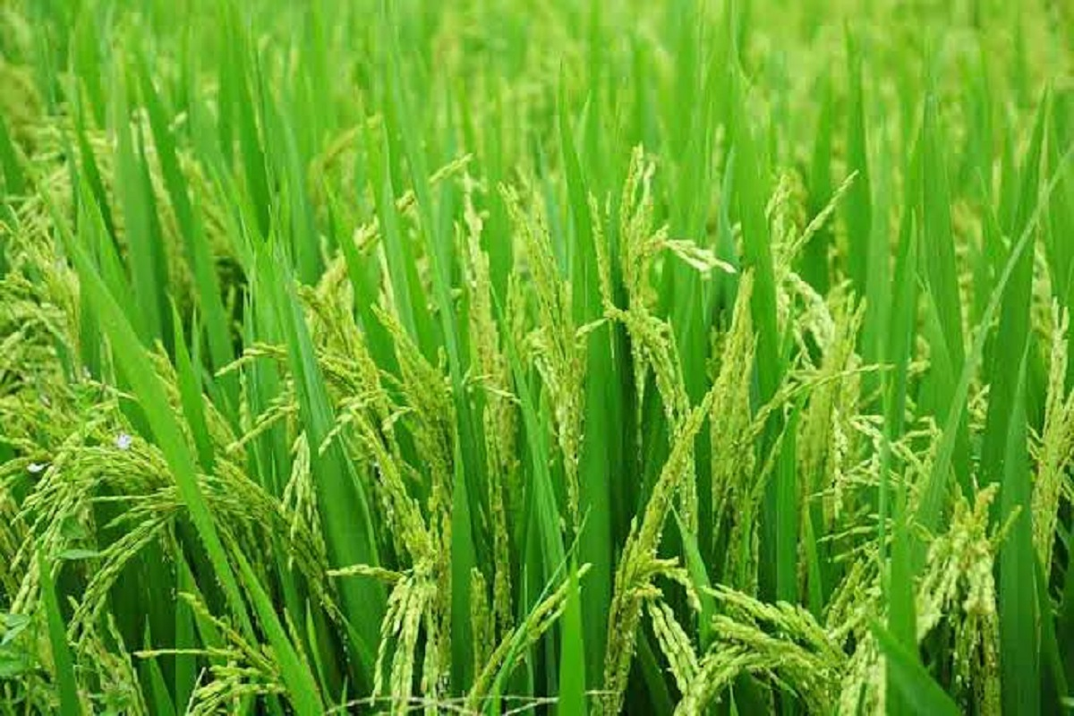 Pravent Tabacco Disease in paddy