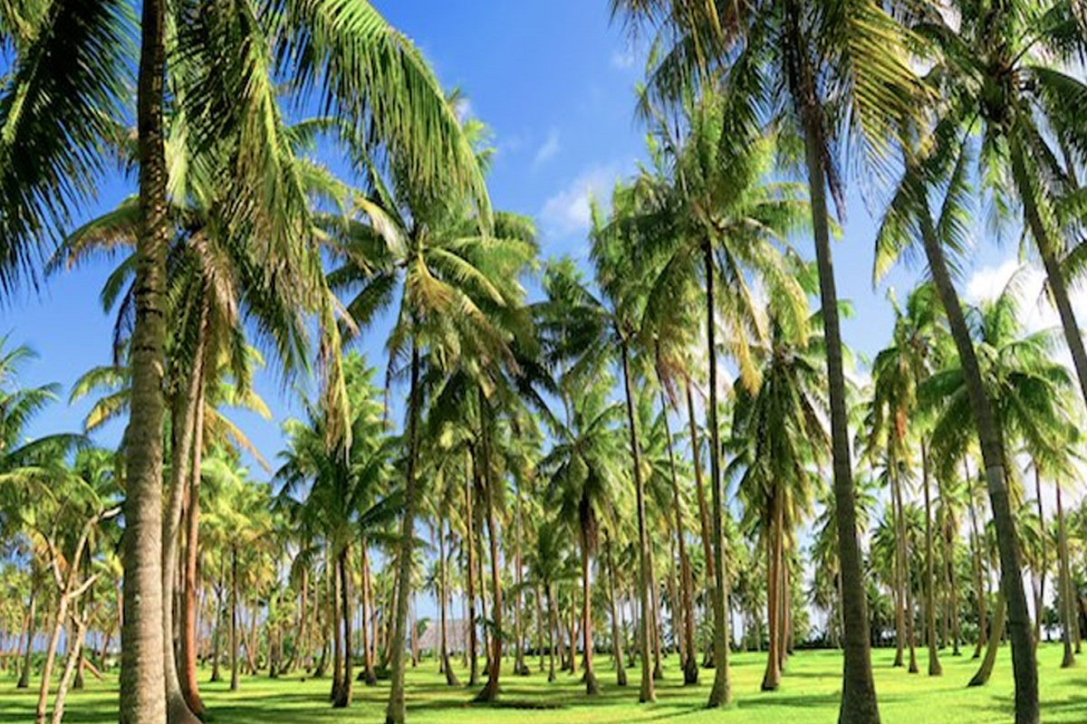 To reduce the severity of the disease in coconut - Banana as an intercrop!