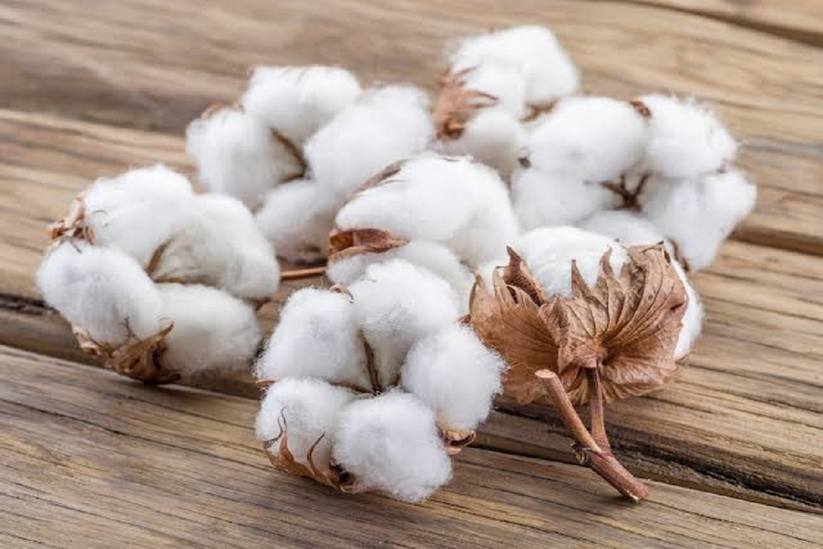 What are the varieties of cotton suitable for summer and rainy season?