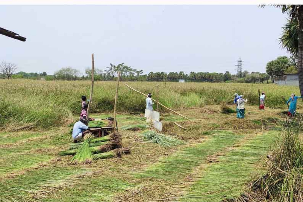 Reed Cultivation