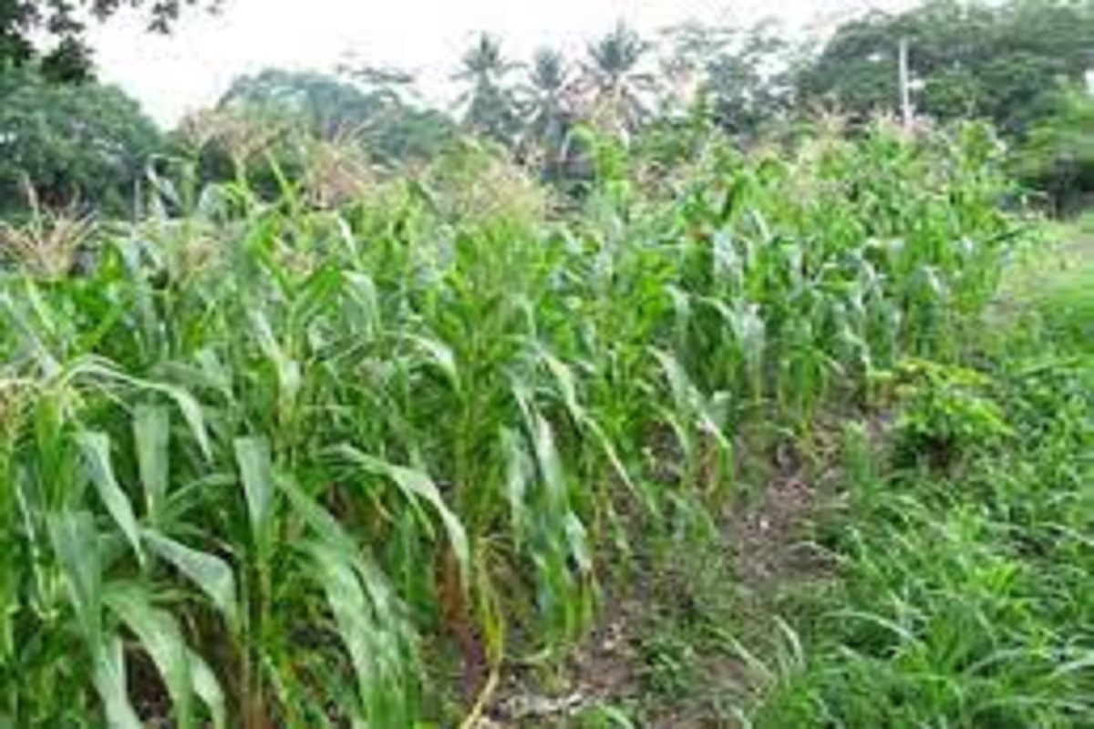 Election echo in Tamil Nadu- Manila harvest hit hard!