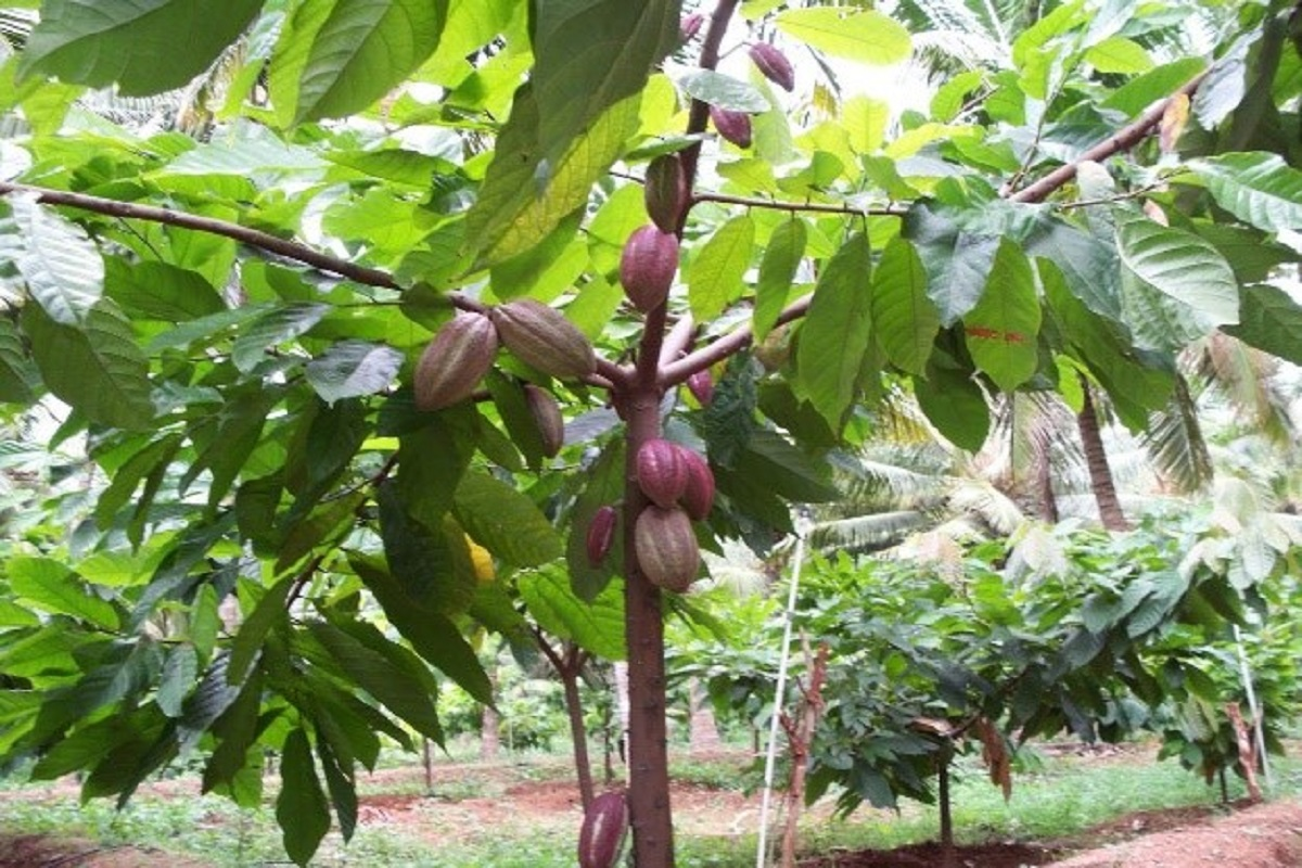 Cocoa Intercropping Subsidy- Call for Farmers to Book!