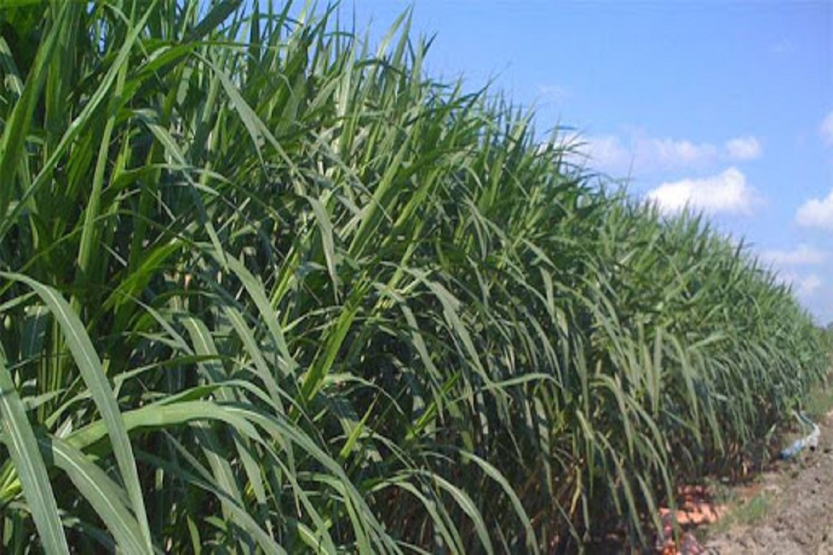 Milk Fertilizing Rye Napier Grass - Simple Tips To Cultivate!