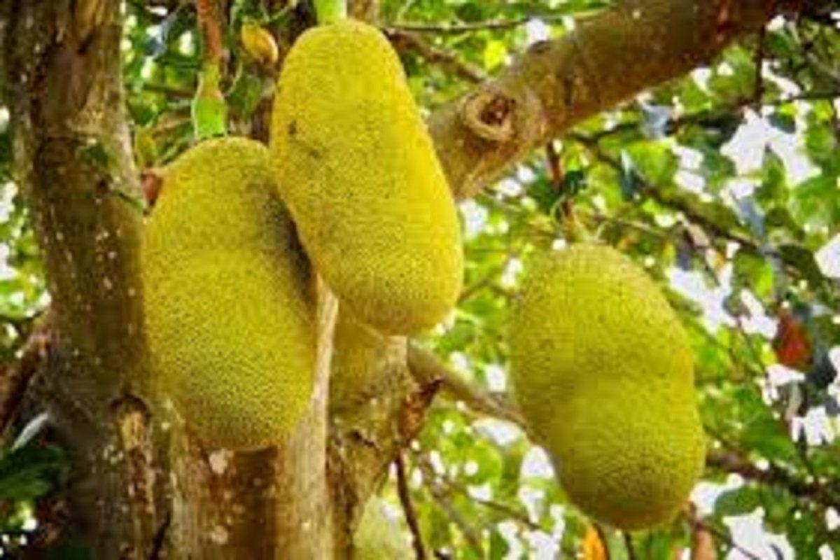 Jackfruit  High Yield- Corona Impact on Sales!