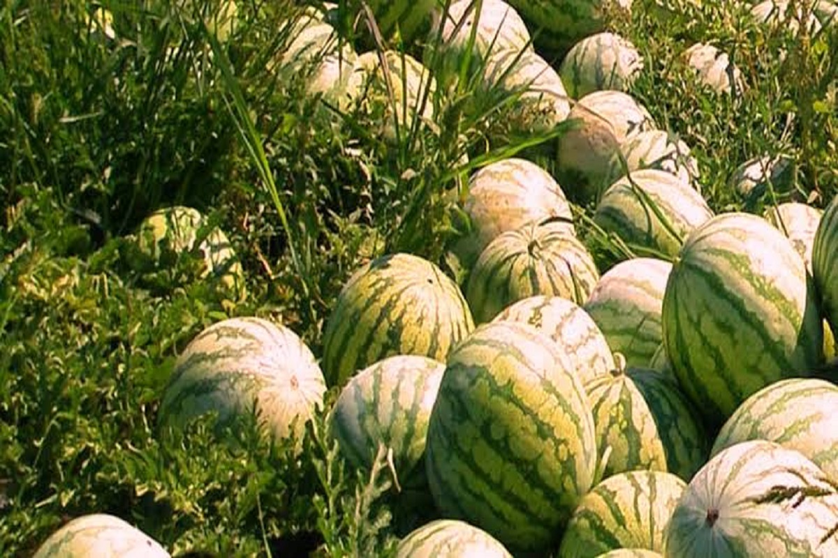 Watermelon Cultivation