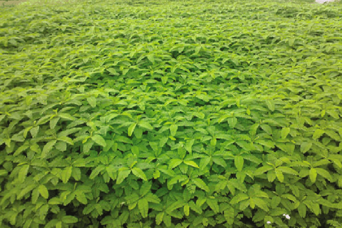 Green manure cultivation to help increase soil fertility!
