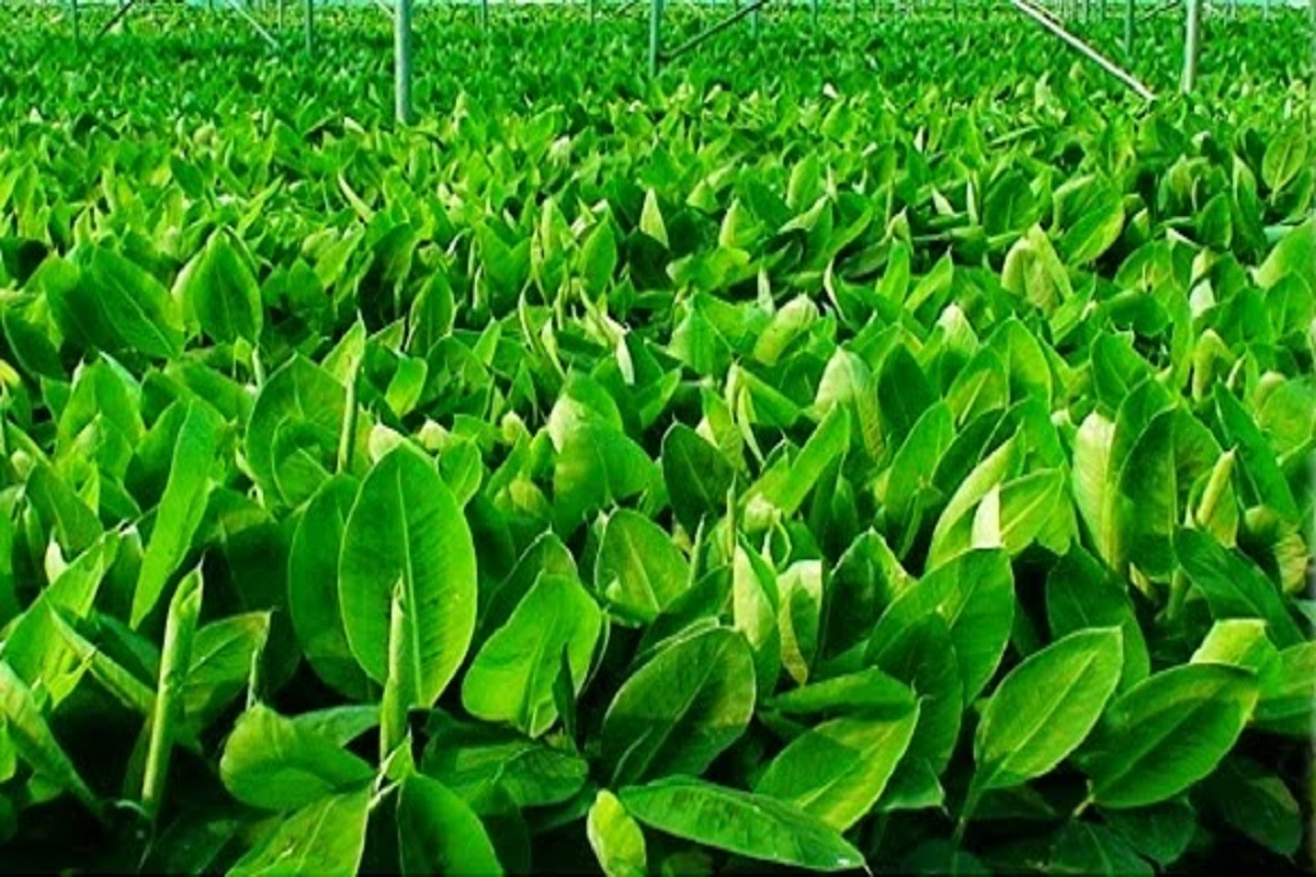 G9 Tissue Banana Seed - Call for Free!