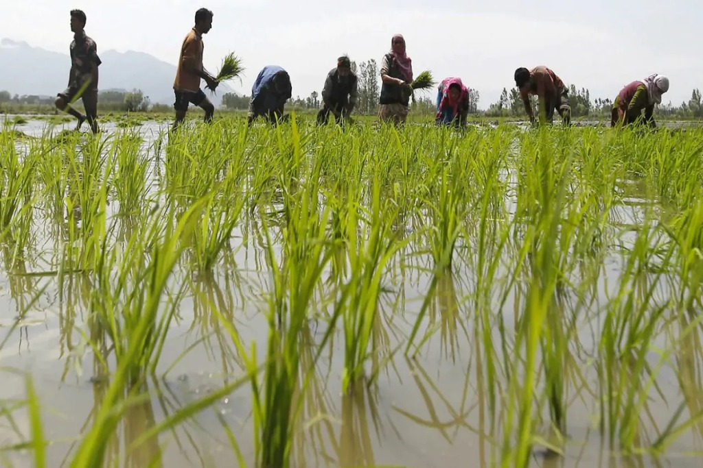 What are the varieties of paddy suitable for cultivation?