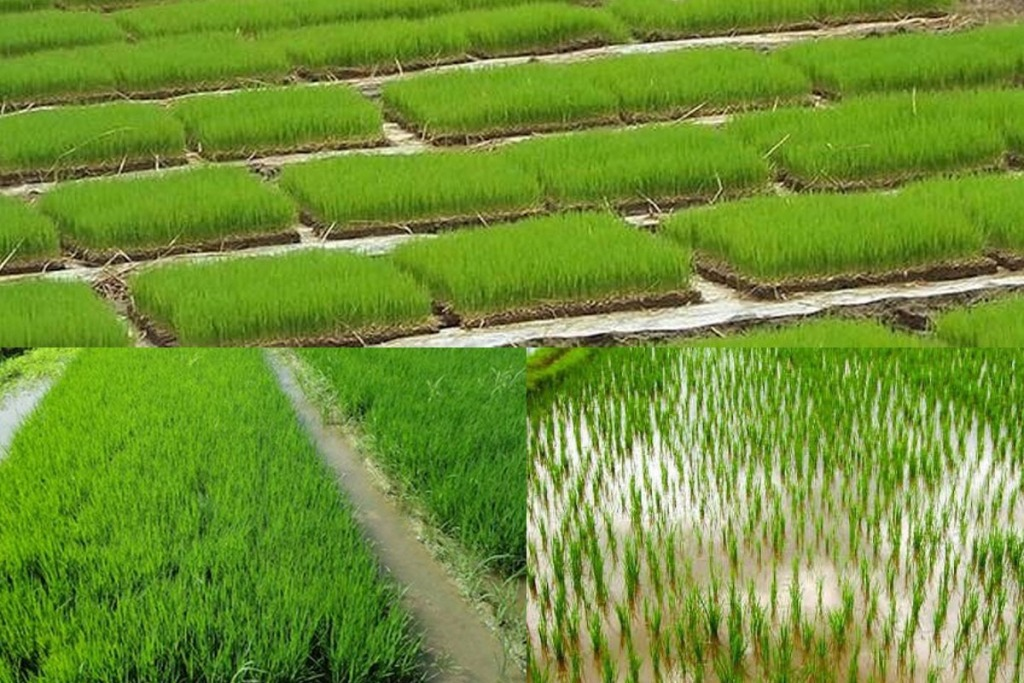 Mettupathy Nursery in Transformed Paddy Cultivation Method- Agricultural Instruction!