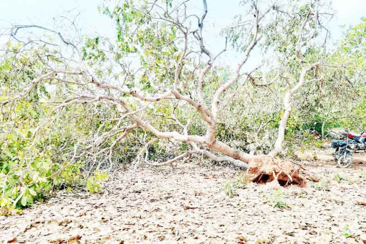 Cashew Cultivation