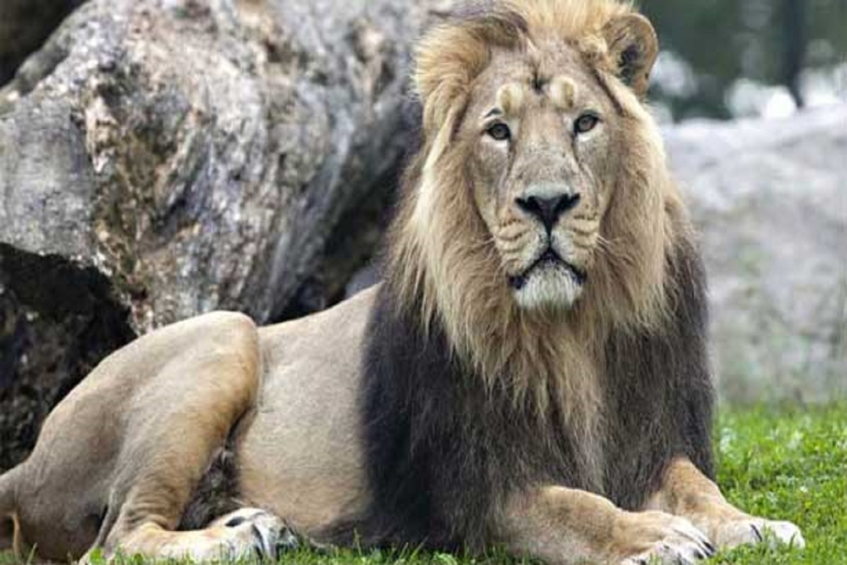 9 lions infected with coronat at Vandalur zoo