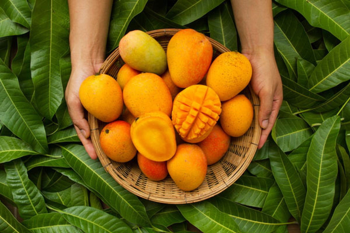 Techniques to follow during mango harvest!