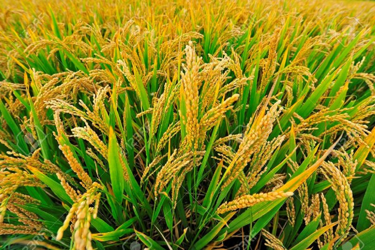 Paddy cultivation-farmers happy to go second after 30 years!