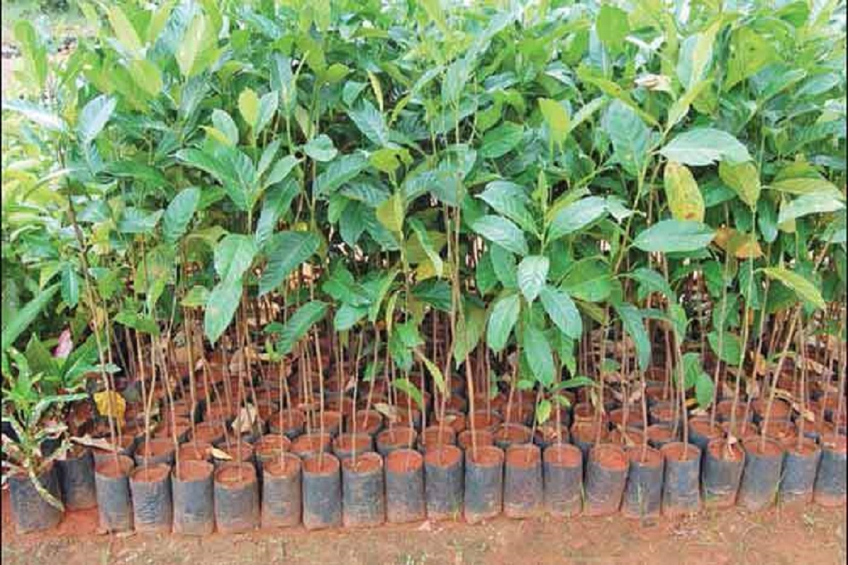 70,000 saplings for farmers - ready for distribution!