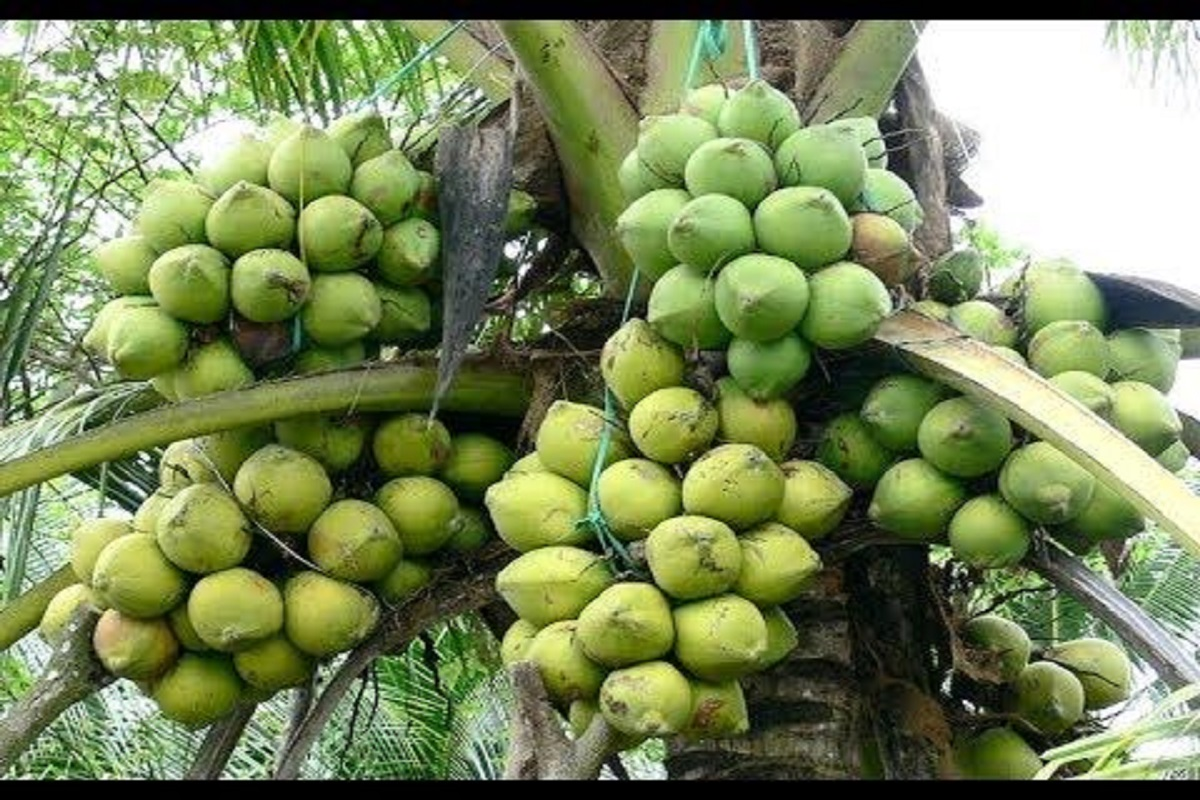 When and how much fertilizer should be applied to get high yield in coconut?