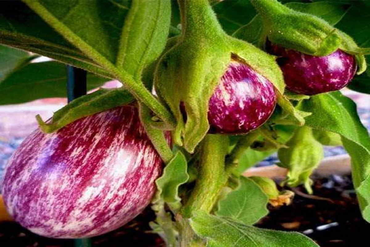 Unsold eggplant-rotten waste in the garden is a shame!