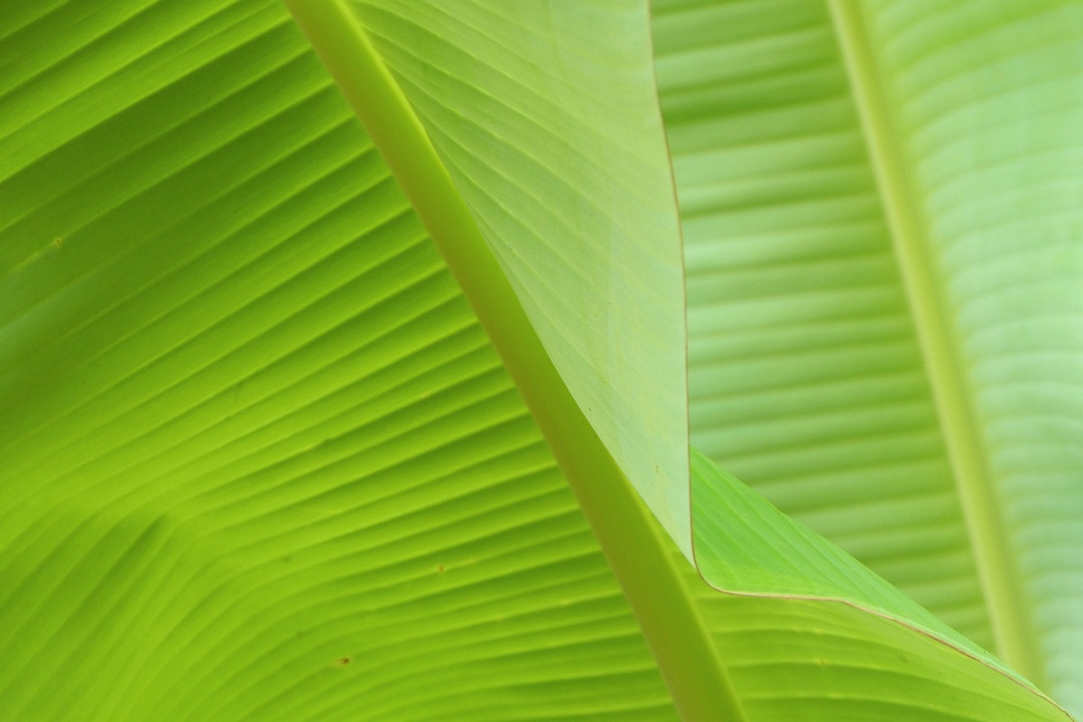 Banana leaf sale crippled by drought - Farmers in pain!