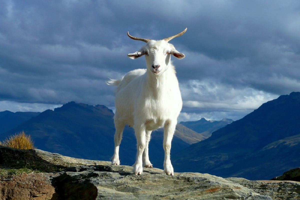 Goats can be vaccinated to prevent monsoon diseases!