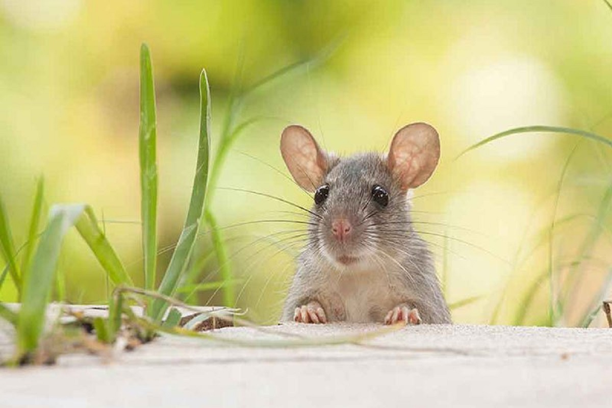 Rats lurking in the fields - how to deal with tricks!