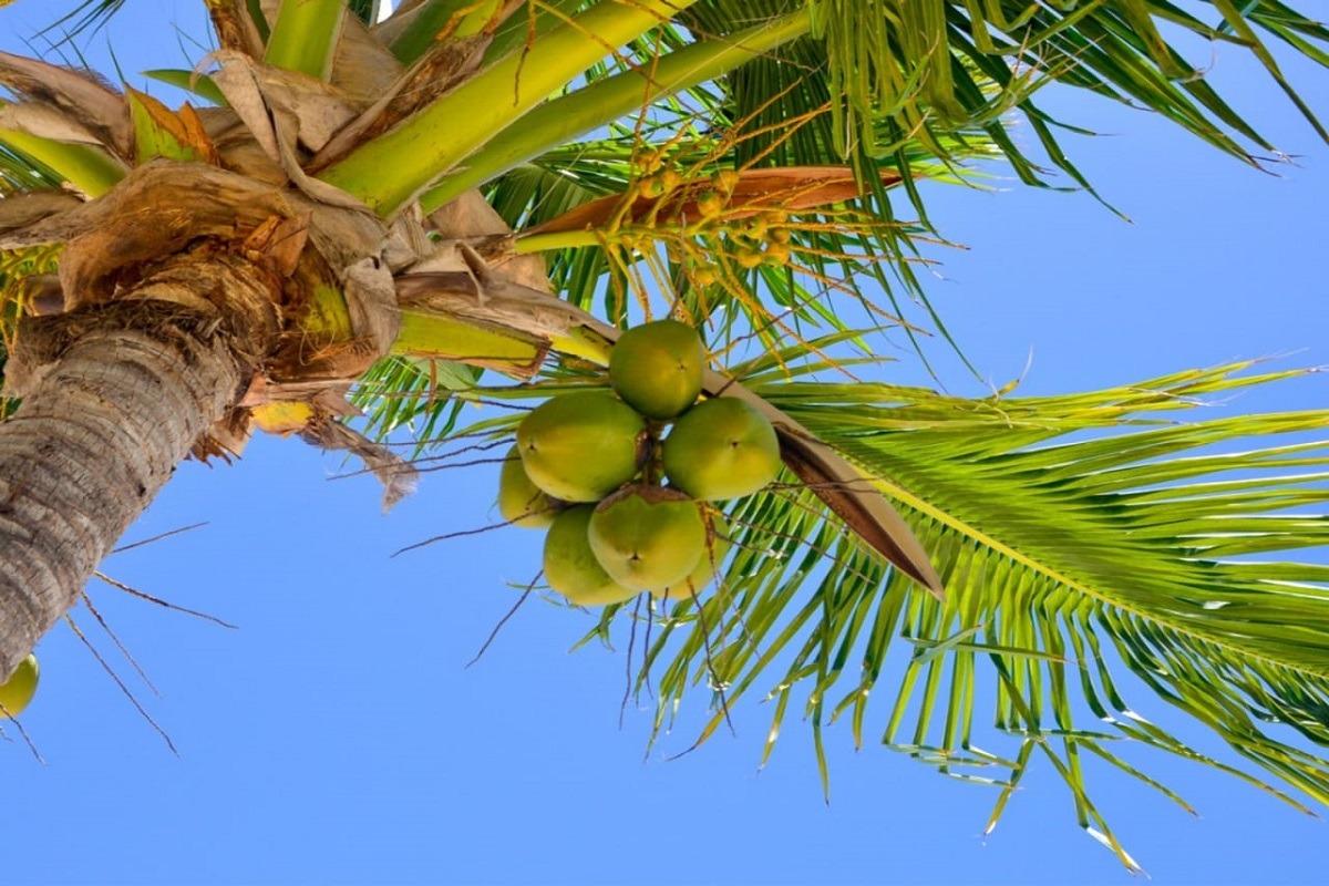 Coconut Treees