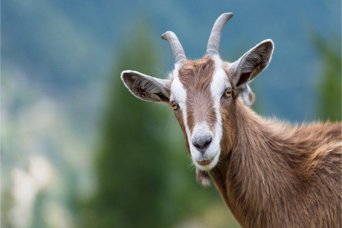 Goat herding disease!