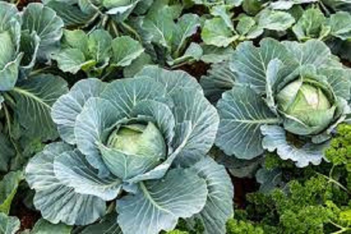 Is it possible to grow cabbage naturally?