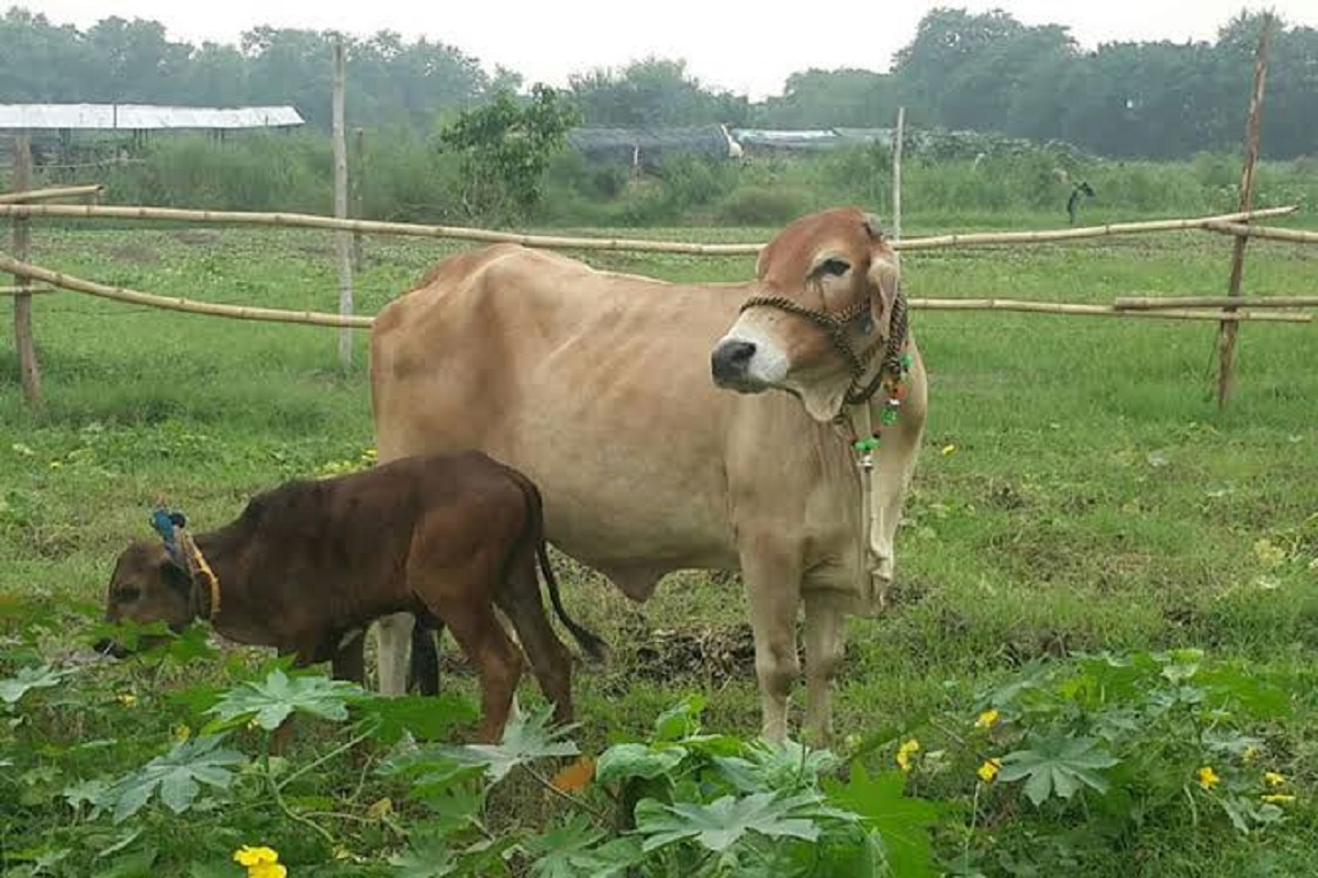 Buy cow needs subsidy- Farmers demand!
