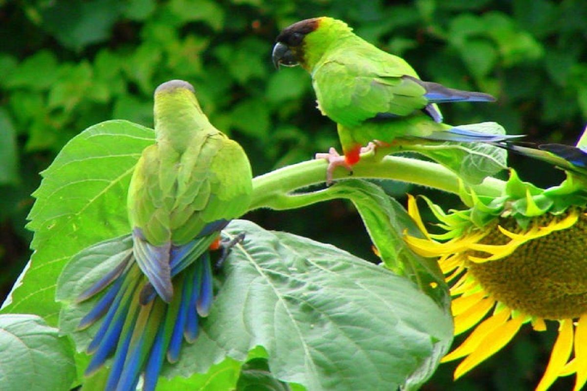 Sunflower-damaging parrots - farmers chase away!