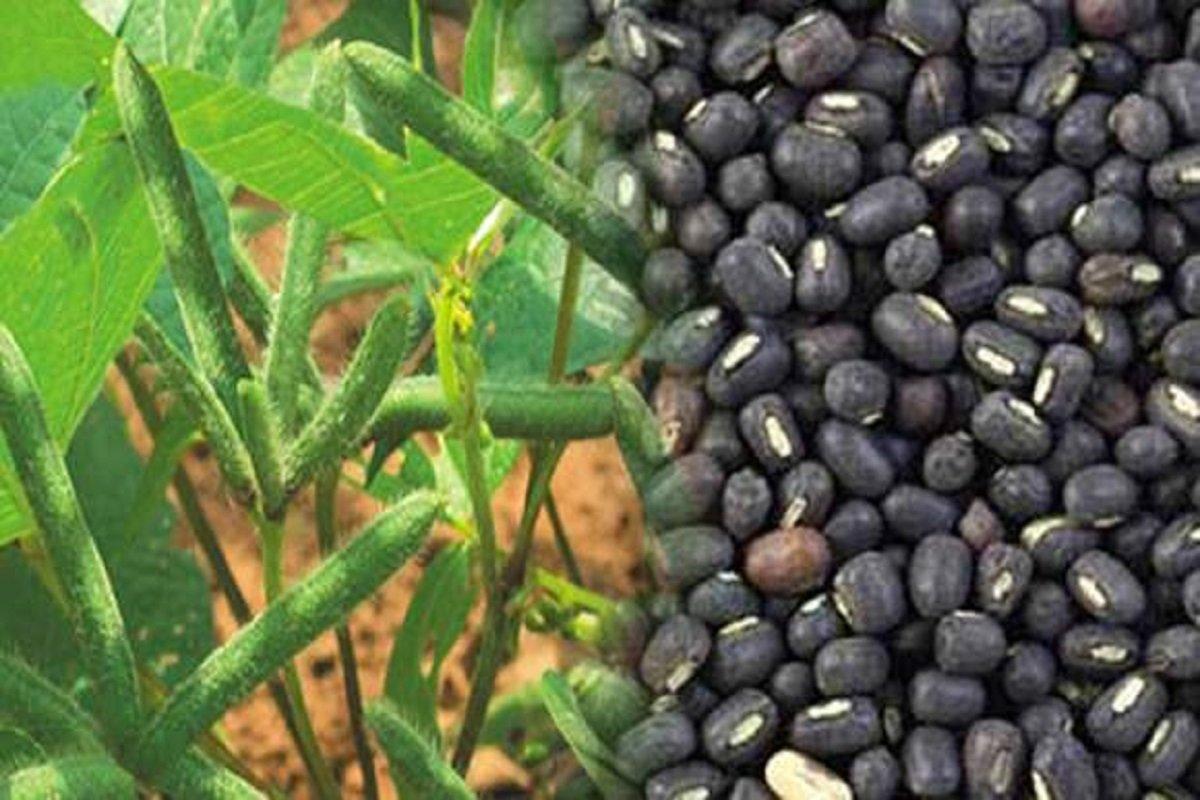 Subsidized black gram seeds - call to farmers!