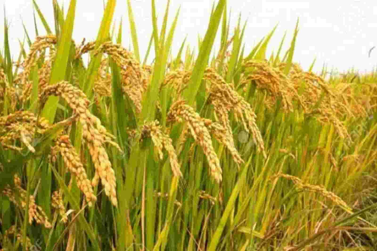Alternative Paddy Varieties to Replace PPD 5204 - Agricultural Instruction