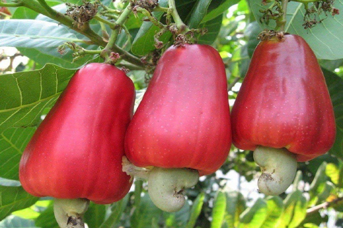 Subsidy of Rs. 12,000 / - per hectare for cultivation of drought tolerant cashew!