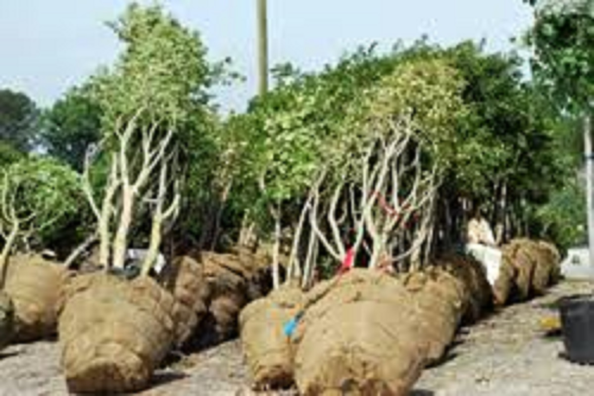 Burlaping Tree Planting - Did You Know?