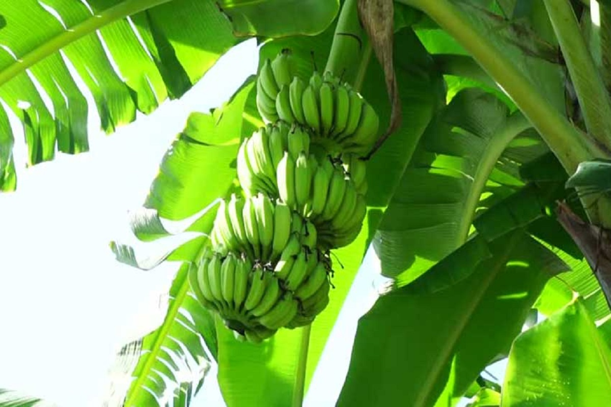 Rs 4 crore compensation for worker who fell from a banana tree!