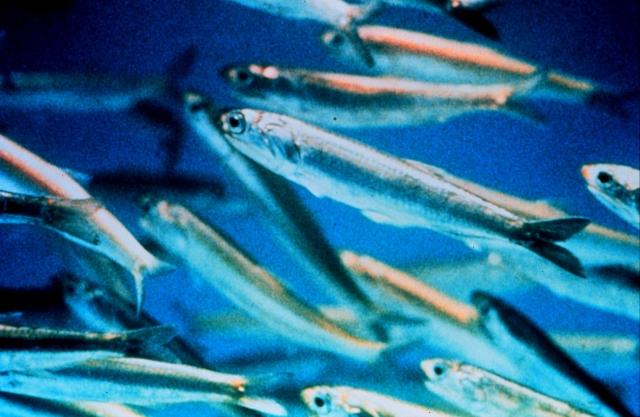 Salted Water Fish