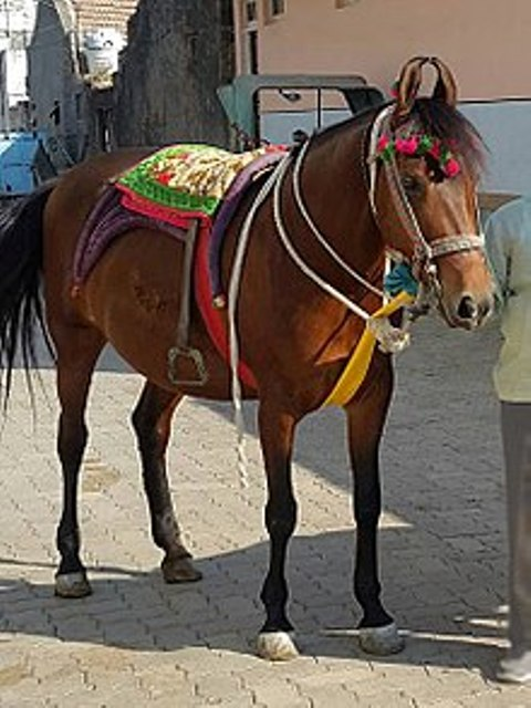 Indian kathiawari horse
