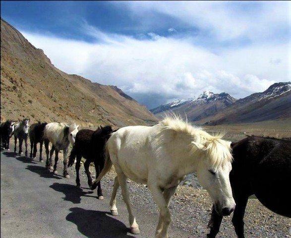 Indian spiti horse