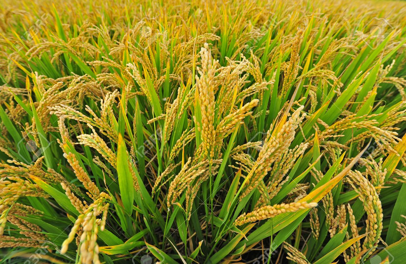 Tobacco pest infestation in paddy - best ways to control!