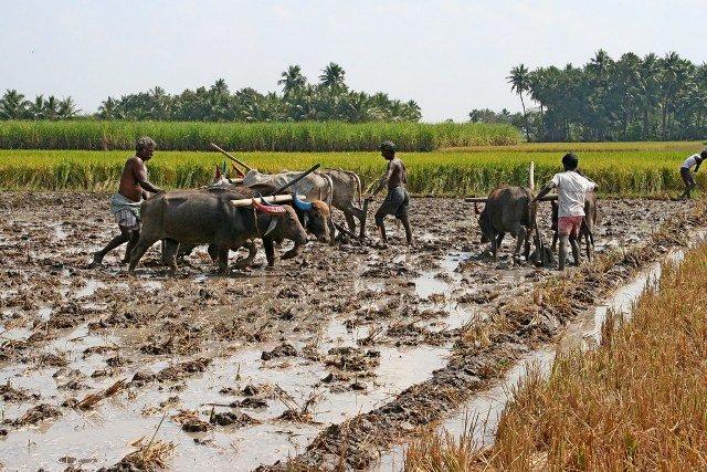 paddy land preparation